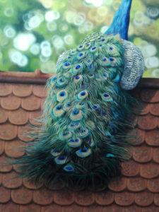 Peacock Progress 20