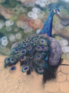 Peacock Progress 13