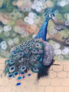 Peacock Progress 14