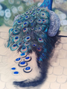 Peacock Progress 15