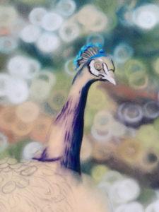 Peacock Progress 5