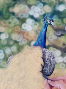 Peacock Progress 7