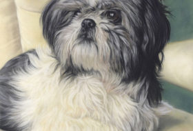 Paddy the Shih Tzu